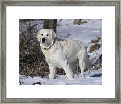 English Cream Golden Retriever Framed Print by Coby Cooper