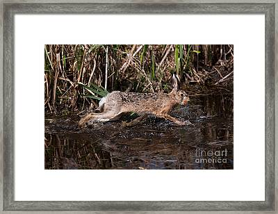 European Brown Hare Lepus Europaeus Framed Print by Gerard Lacz