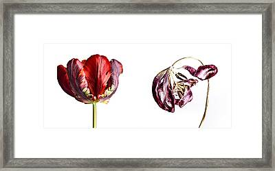 Fading Beauty Framed Print