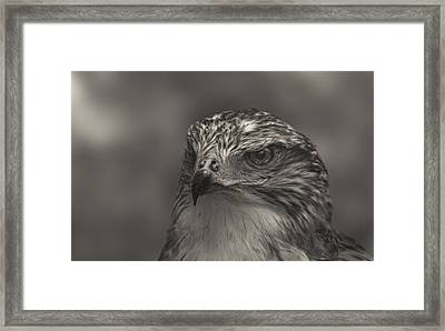 Ferruginous Hawk  Framed Print