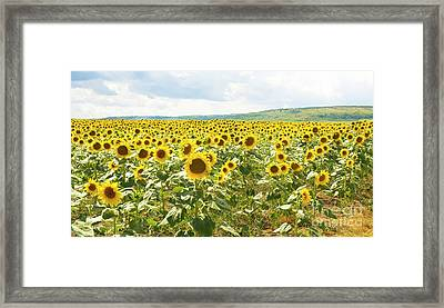 Field With Sunflowers Framed Print