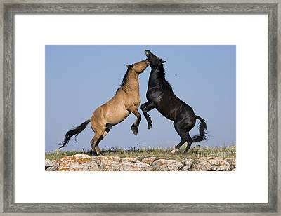 Fighting Stallions Framed Print by Jean-Louis Klein & Marie-Luce Hubert