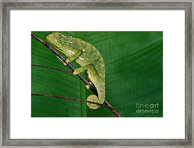 Flap-necked Chameleon Chamaeleo Dilepis Framed Print by Gerard Lacz