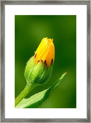 Flower Framed Print by Yuri Peress