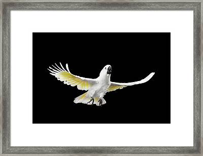 Flying Crested Cockatoo Alba, Umbrella, Indonesia, Isolated On Black Background Framed Print