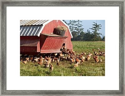 Free Range Chickens Framed Print by Inga Spence