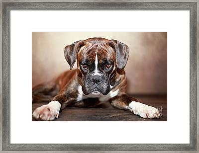 German Boxer Dog Framed Print