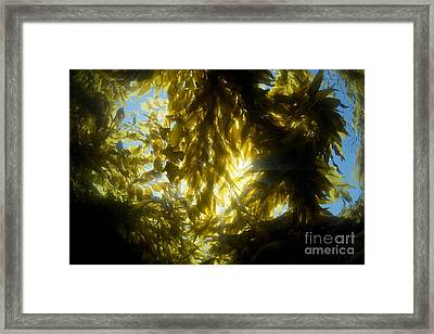 Giant Kelp Forest Framed Print by Dave Fleetham - Printscapes