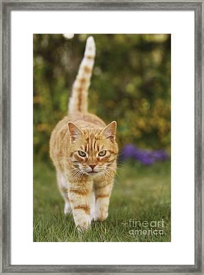Ginger Cat In Garden Framed Print by Jean-Michel Labat