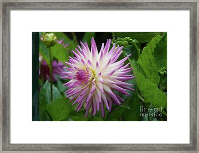 Glenbank Twinkle Dahlia Framed Print
