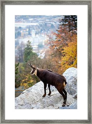 Goat In The Austrian Alps Framed Print by Andre Goncalves