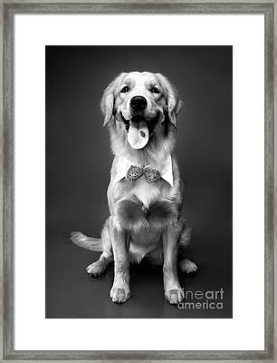 Golden Retriever Framed Print by Oleksiy Maksymenko