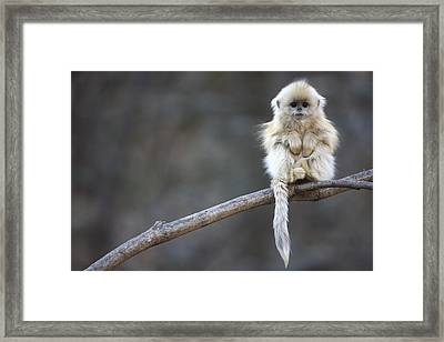 Golden Snub-nosed Monkey Rhinopithecus Framed Print