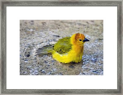 Golden Weaver Framed Print