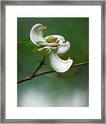 Graceful Dogwood Framed Print by Elsa Marie Santoro