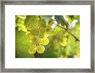 Grapes Filled With Sun Framed Print