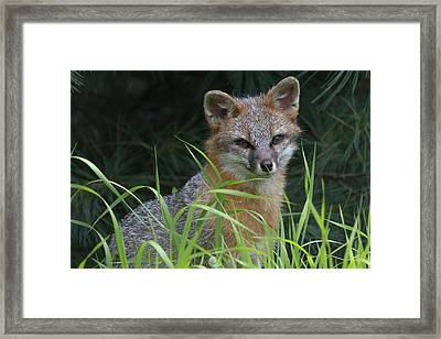 Gray Fox In The Grass Framed Print