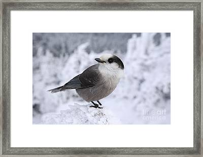 Gray Jay - White Mountains New Hampshire Usa Framed Print by Erin Paul Donovan