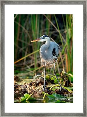 Great Blue Heron Framed Print by Matt Suess
