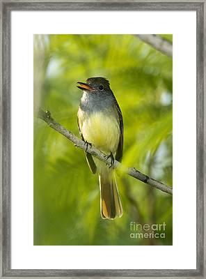 Great Crested Flycatcher Framed Print by Anthony Mercieca