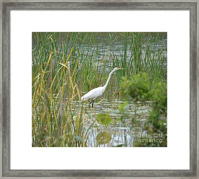 Great Egret Watching And Waiting Framed Print by Ruth Housley
