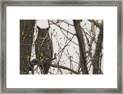 Great Horned Owl Framed Print by Matt Steffen