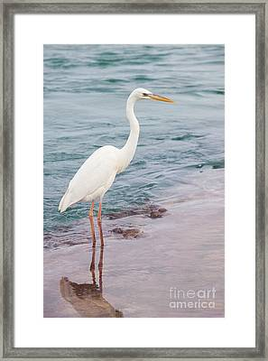 Great White Heron Framed Print by Elena Elisseeva