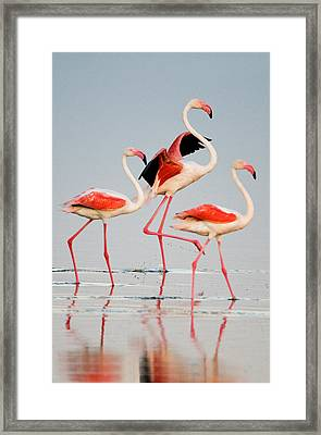 Greater Flamingos Phoenicopterus Roseus Framed Print