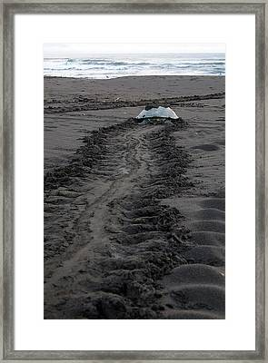 Green Sea Turtle Returning To Sea Framed Print