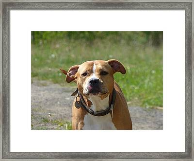 Guarding Pit Bull Dog Framed Print by Miroslav Nemecek