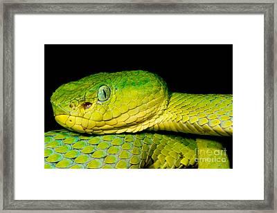 Guatemala Palm Pitviper Framed Print by Dant� Fenolio