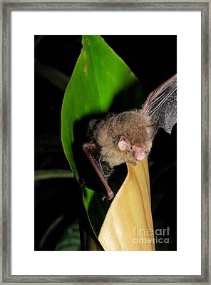 Hardwickes Woolly Bat Sequence Framed Print by Fletcher & Baylis
