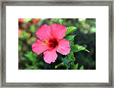 Hawaiian Red Flower Framed Print by DIck Willis