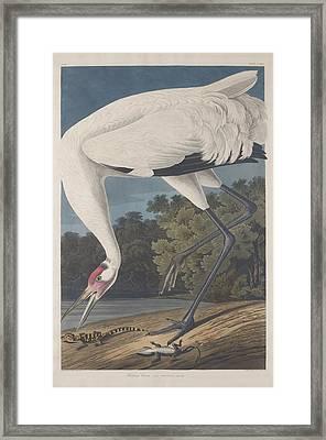 Hooping Crane Framed Print by Rob Dreyer
