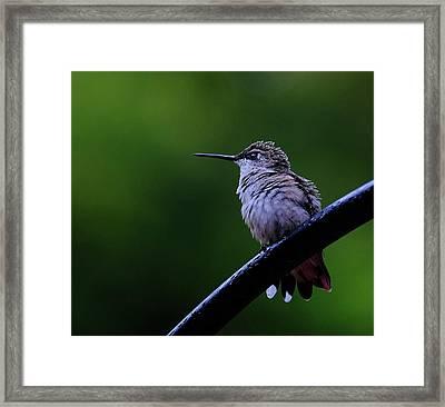 Hummingbird Portrait Framed Print
