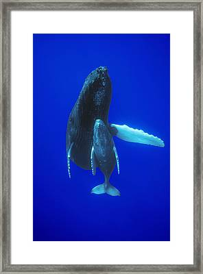 Humpback Whale Mother And Calf Off Maui Framed Print by Flip Nicklin