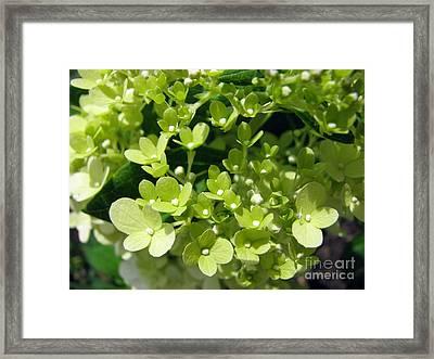 Hydrangea Framed Print by Amanda Barcon