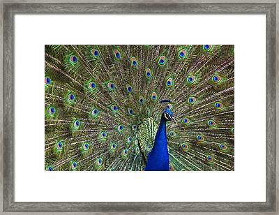 Indian Peafowl Male With Tail Fanned Framed Print by Tim Fitzharris