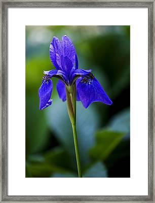 Iris Framed Print by Robert Ullmann