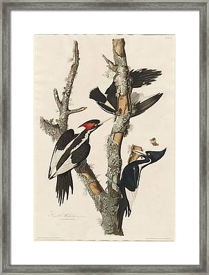Ivory-billed Woodpecker Framed Print by Rob Dreyer