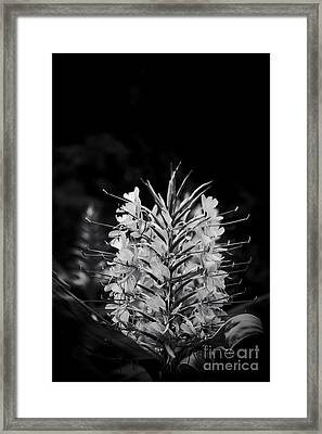 Kahili Ginger - Hedychium Gardnerianum - Kula Maui Hawaii Framed Print by Sharon Mau