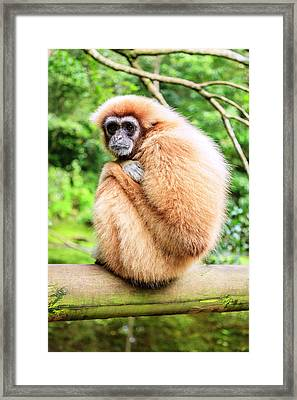Framed Print featuring the photograph Lar Gibbon by Alexey Stiop