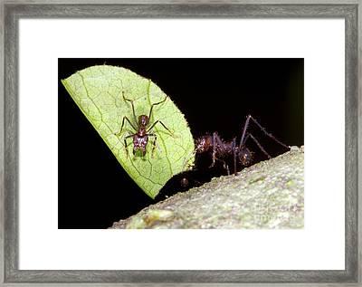 Leaf-cutter Ants Framed Print
