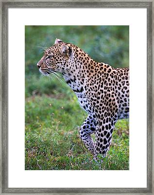 Leopard Panthera Pardus, Ndutu Framed Print by Panoramic Images