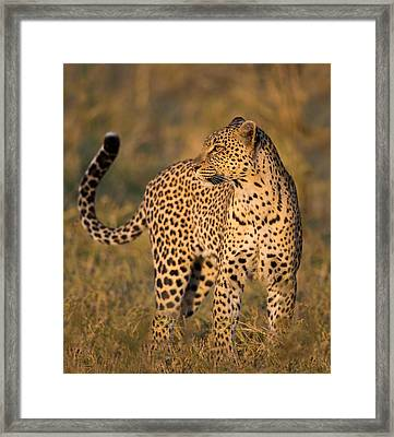 Leopard Panthera Pardus, Serengeti Framed Print by Panoramic Images