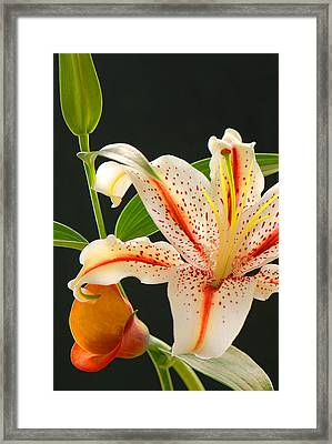Lily Framed Print by Dennis Hammer
