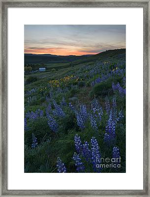 Lupine Sunset Framed Print by Mike Dawson