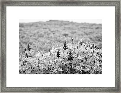 lupins lupinus nootkatensis growing wild near vik southern Iceland Framed Print