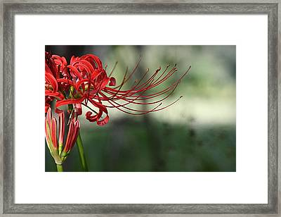 Lycoris Radiata Framed Print
