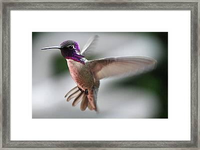 Male Anna's In Flight Framed Print